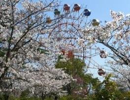 甘木公園(大牟田市)の桜